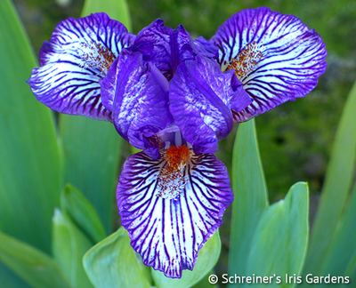 Along The Lines | Dwarf Bearded Iris
