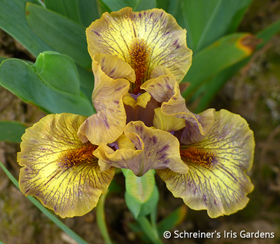 Ashland | Yellow Iris