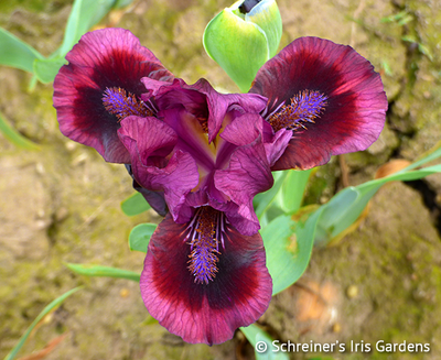 Brooklyn | 2021 New Schreiner Family Iris Hybrids