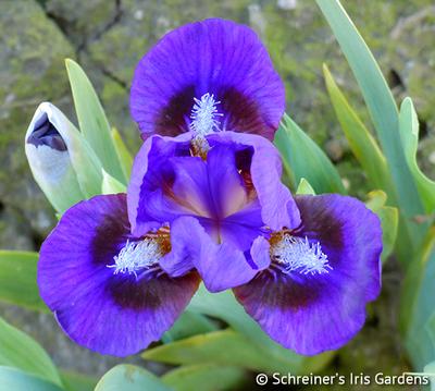 Frodo | 2021 New Schreiner Family Iris Hybrids