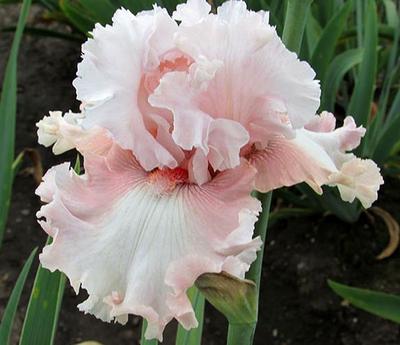 It's Remarkable | Pink Iris