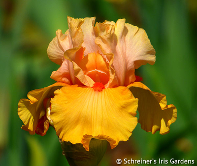 Early to Rise | Tall Bearded Iris