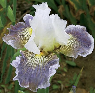 Ciel Gris Sur Poilly | Purple Iris
