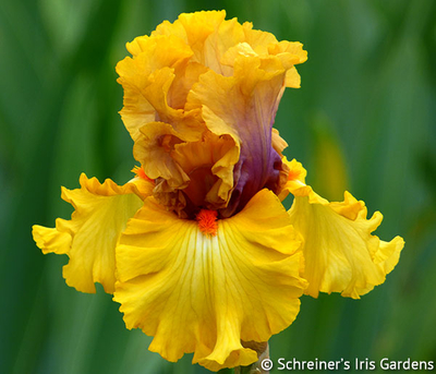 Idle Rich   Yellow Iris