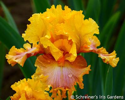 Nice Job | Yellow Iris