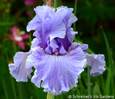Ocean Liner | Tall Bearded Iris