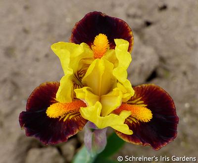 Exclaim   Yellow Iris