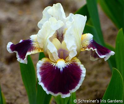Nine Lives | Dwarf Bearded Iris