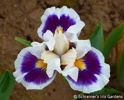 Stop And Stare | White Iris