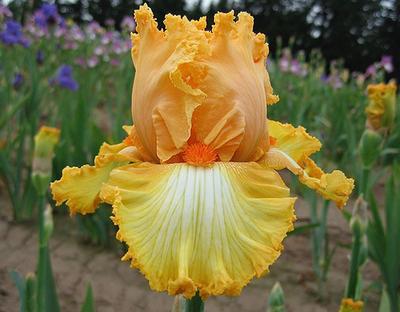 Fall Fashion | Orange Iris