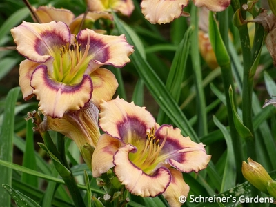 Butterfly Shores | Shop Daylilies by Evergreen/Semi-Evergreen Varieties