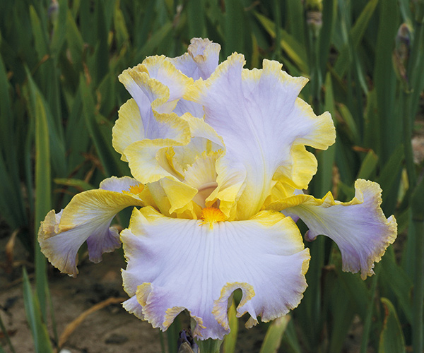 Favorite Fragrant Iris Collection | Shop Discounted Iris Collections