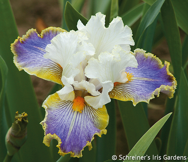 Favorite Fragrant Iris Collection | Shop Iris Collections