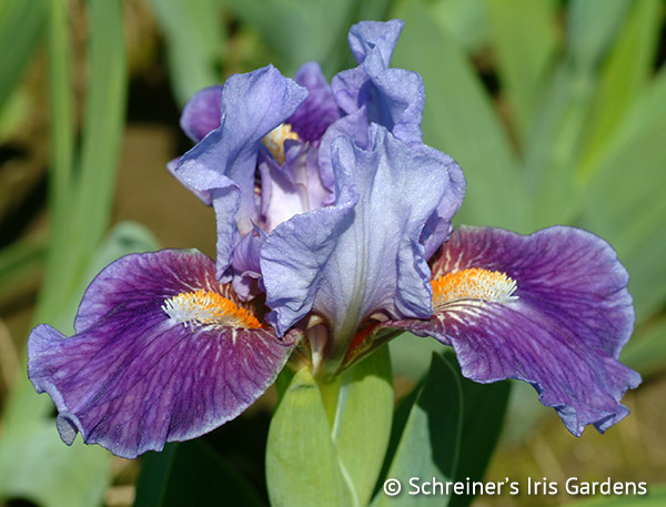 Buddy Boy | Dwarf Bearded Iris