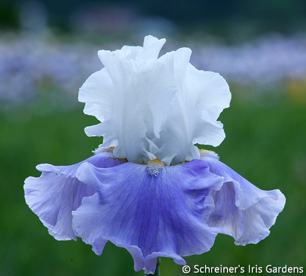 Coming About | Tall Bearded Iris