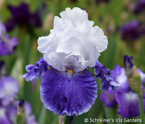 Drifting | Tall Bearded Iris