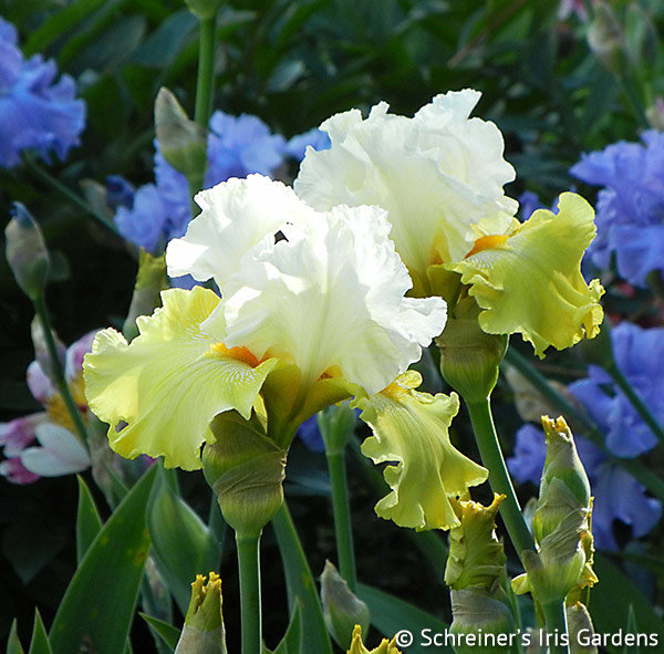 Kissed by the Sun | Tall Bearded Iris