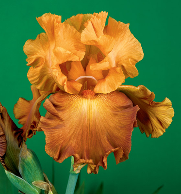 Lovely Senorita | Orange Iris