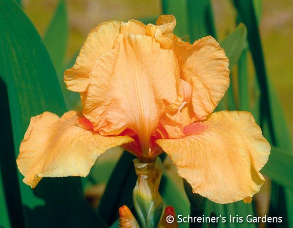 Many Mahalos | Intermediate Bearded Iris