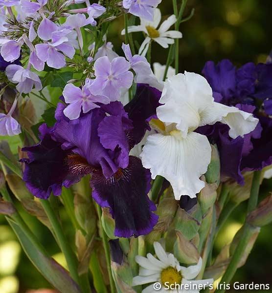 Pagan Dance | Reblooming Iris: Colorful Summer Blossoms