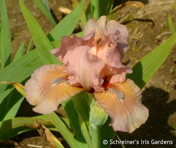 Purr | Dwarf Bearded Iris