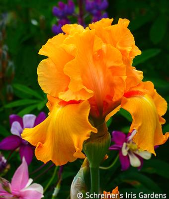 Tumalo Sunset | Tall Bearded Iris