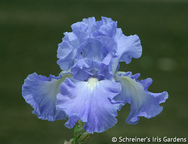 Victoria Falls | Tall Bearded Iris
