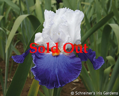 Ragtop Day | Reblooming Iris: Colorful Summer Blossoms