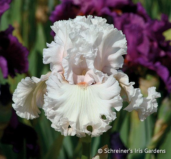 Rite of Passage | Tall Bearded Iris