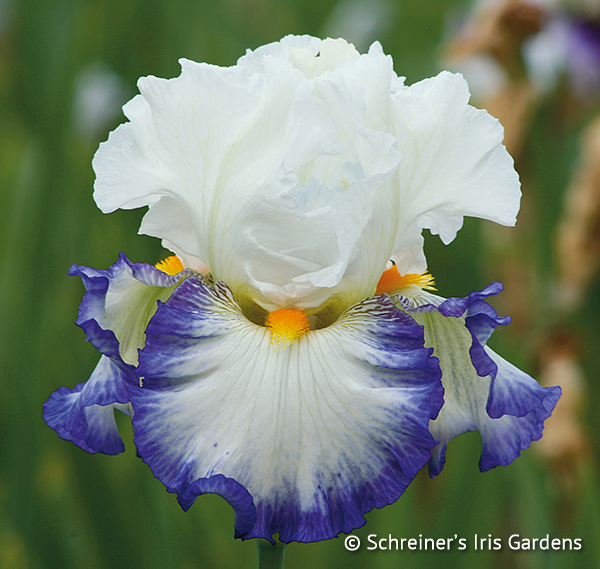 Revision | Tall Bearded Iris