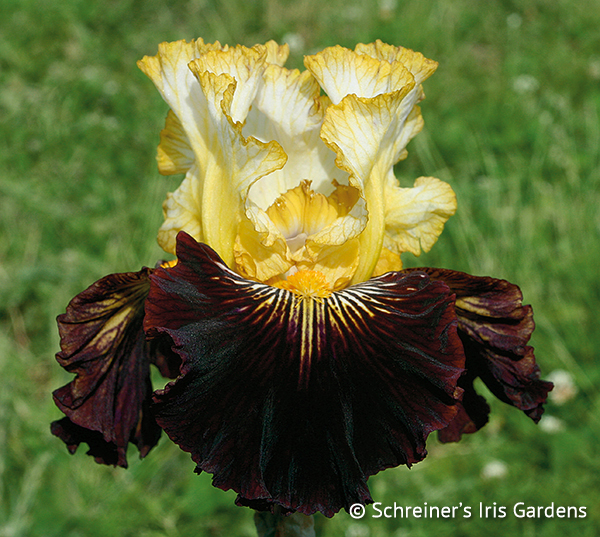 Reckless Abandon | Tall Bearded Iris