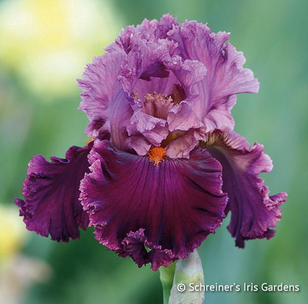 Rarer Than Rubies | Tall Bearded Iris