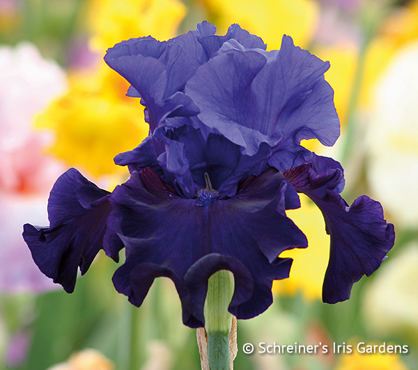 Noble Gesture | Tall Bearded Iris
