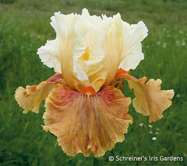 King of the Road | Tall Bearded Iris