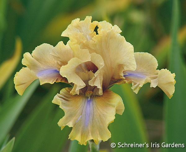 Bamboo Shadows | Yellow Iris