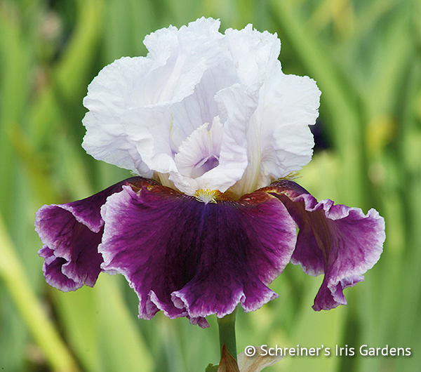 Fickle | Tall Bearded Iris