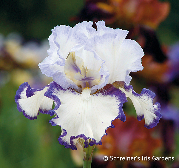 Rings True | Tall Bearded Iris