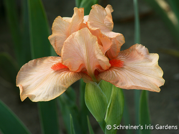 Coral Sunrise | Intermediate Bearded Iris