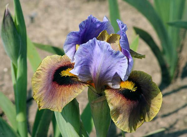 Eye to Eye | Intermediate Bearded Iris