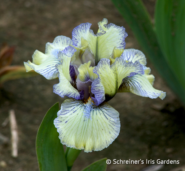 Graph | Dwarf Bearded Iris