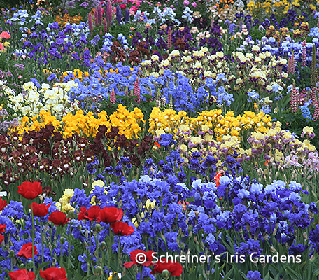 Colorama Iris Collection | Shop Discounted Iris Collections