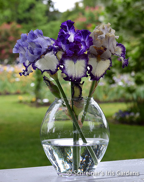Sister Seedling Iris Collection | Shop Discounted Iris Collections