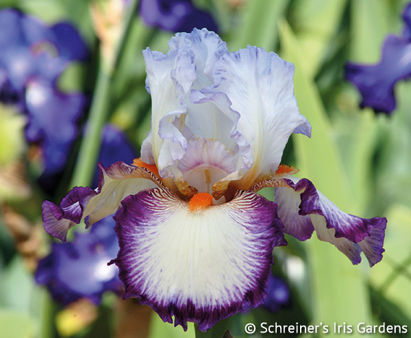 Triple Take | White Iris