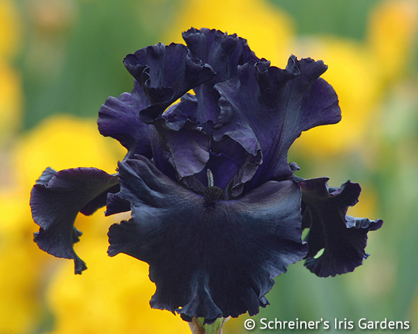 Black Mirror | Tall Bearded Iris