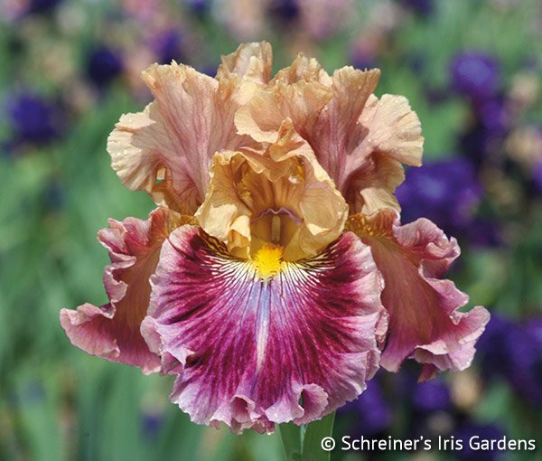 Funday Monday | Fragrant Iris