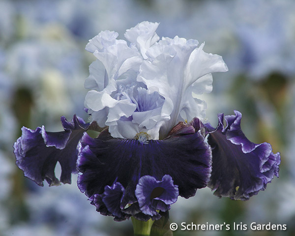Feel The Thunder | Lavender Iris
