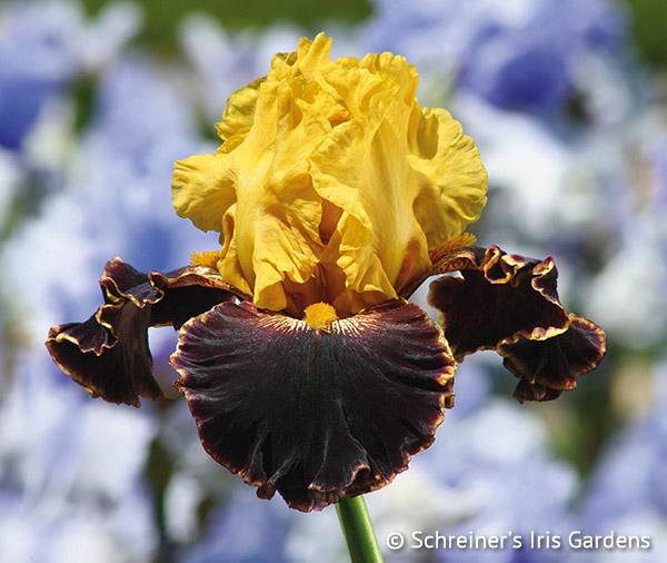 Sun Devil | Brown Iris