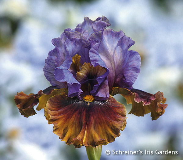 Rum Is The Reason | Tall Bearded Iris