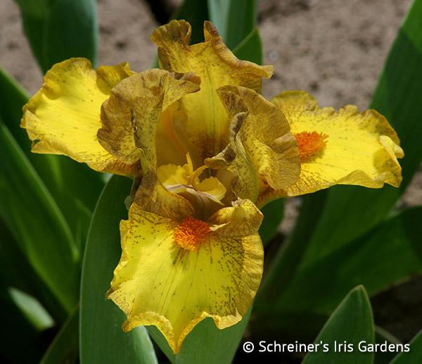 Intergalactic | Dwarf Bearded Iris