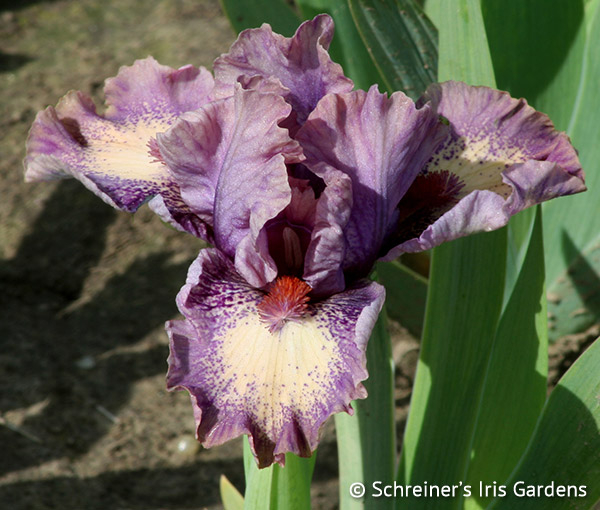 Raspberry Ice | Dwarf Bearded Iris